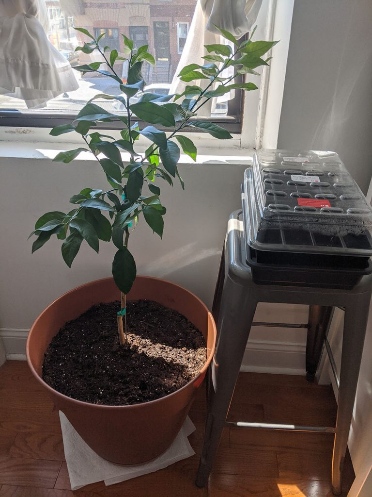 New lemon tree, which we've named Stanley, in a pot